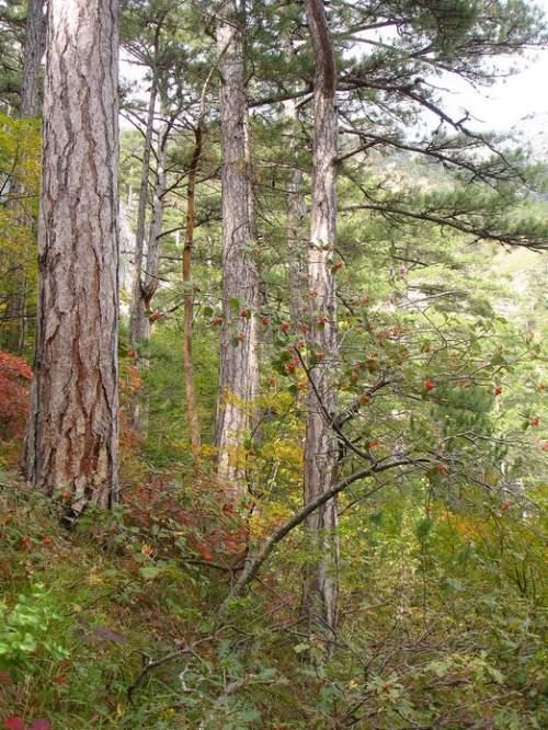 Ягоды кизила / природа, горы, осень, лес, крым, скалы, ягоды, сосны, горная тропа